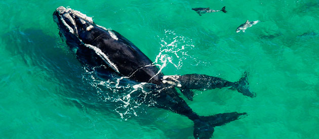 Whale Excitement, overberg www.overberg-info.co.za